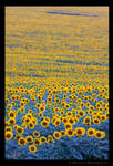 Sunflowers at sunset by colpewole