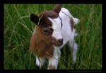 Little Goats Go To Heaven