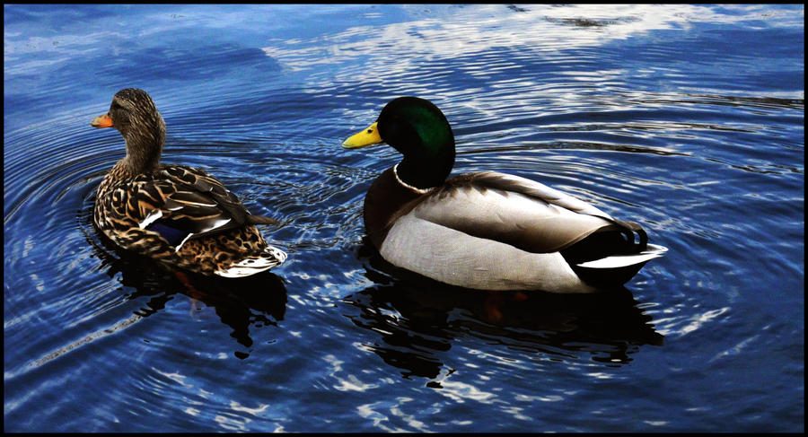 Ducks in the lake by bozonio