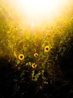 Sunflower Evening Texture by TrollKidsStock