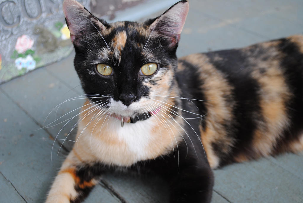 Beautiful Cat by nycdancerkitty
