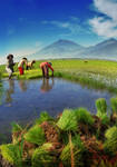 Indonesian Rice Field