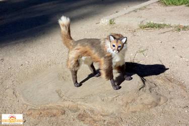 Abooksigun the puma cat - FOR ADOPTION 2 by Skadi-r