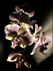 Orchid- time and light by unusualPhoto
