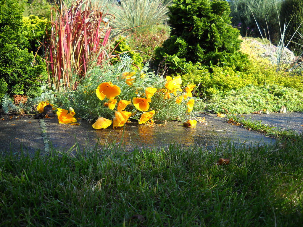 California poppies by m-gosia