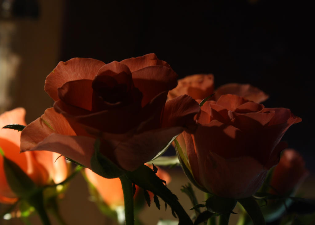 Roses by m-gosia