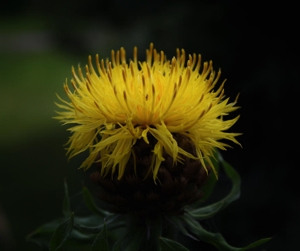Cornflower by m-gosia