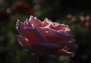 Queen of flowers