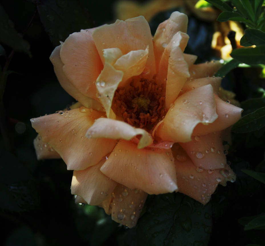 Queen from my garden by m-gosia