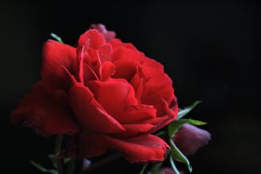 Rose Sympathy