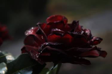 Rose Barbara