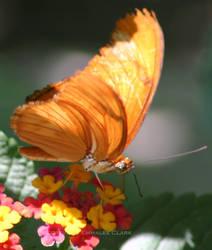 Gulf Frit Butterfly Close Up