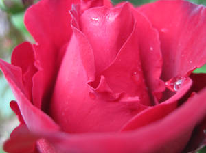 Dewdrops and Roses