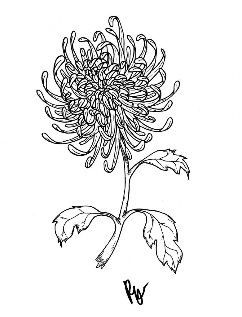 Chrysanthemum Flower Line Drawing : Chrysanthemum by penelopepro on deviantart