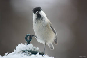 Willow tit is the boss