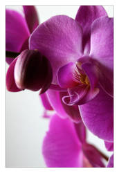 Orchid shining by cesalv