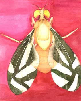 Caribbean fruit fly