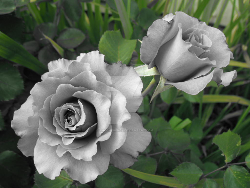 Gray roses by encoherence on deviantart for What colour roses can you get