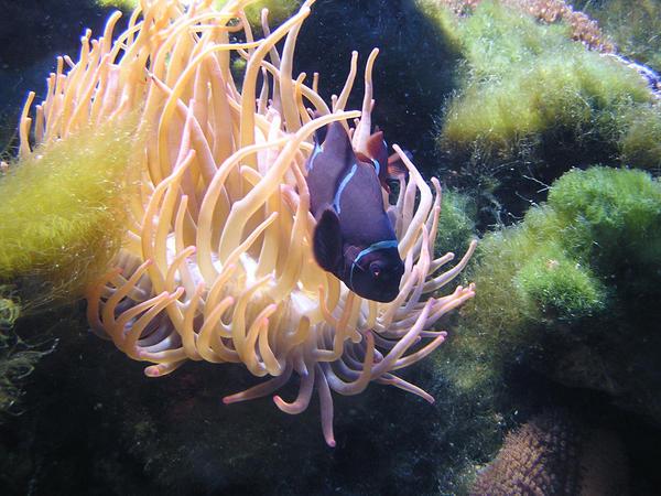 navy blue Nemo :P by reytonyoshida