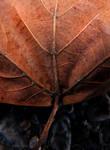 macro leaf10 by gypsybeach1