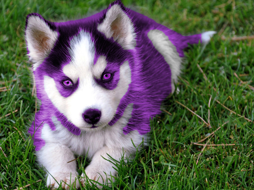 Purple Husky Puppy By Hansen95 On Deviantart