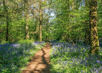 Path through Pamphill bluebell woods, Dorset by UK-Shots