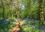 Path through Pamphill bluebell woods, Dorset