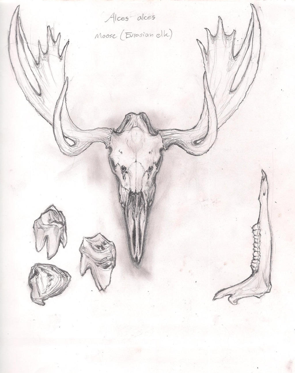Bull Moose Skull, Jaw and Teeth by karkharokles on DeviantArt