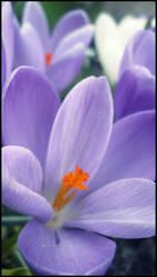 Spring Flowers by ShimmerStarOfSky