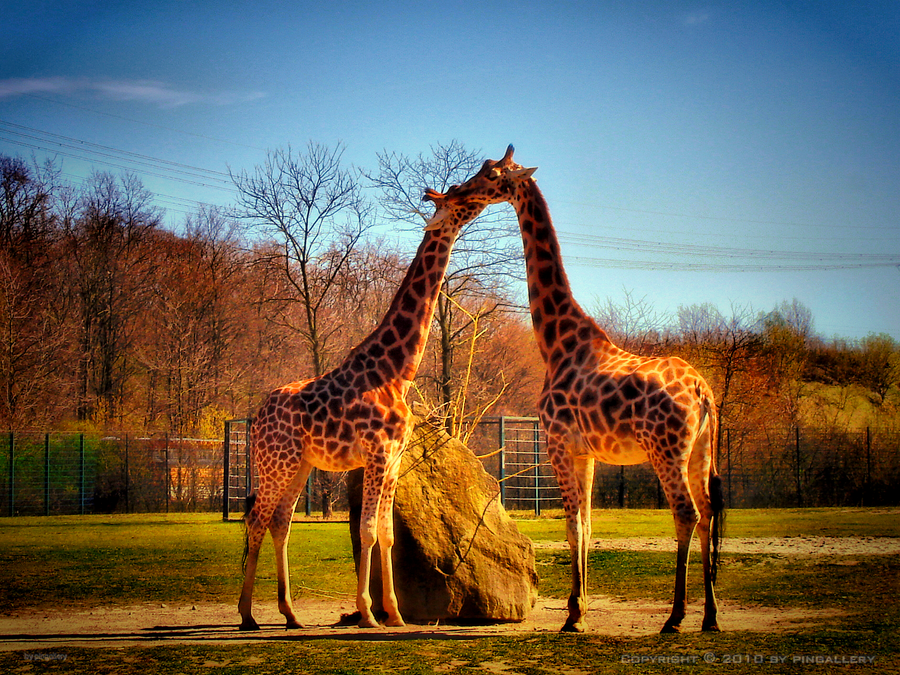 Giraffes In Love Giraffe Love I by ping...