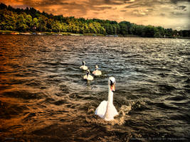 Swan family by pingallery