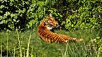 Berlin Zoo - Tiger
