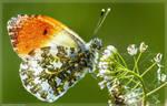 Butterfly - Aurorafalter