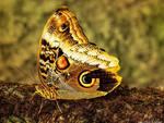 Butterfly - Caligo Atreus