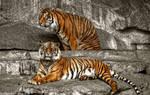 Tigers in Tierpark Berlin