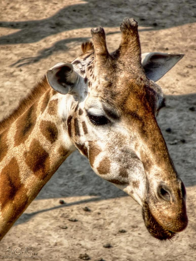 My favorite Animal - Giraffe by pingallery on DeviantArt