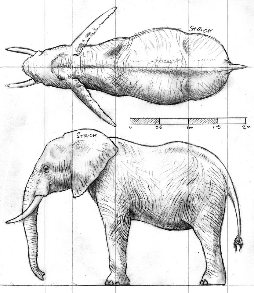Elephant orthographic pencil drawing by strick67 on deviantart
