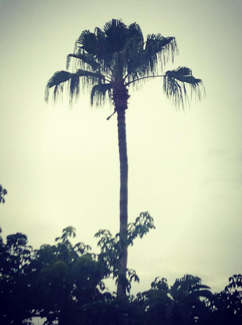 Palm Tree by callista777