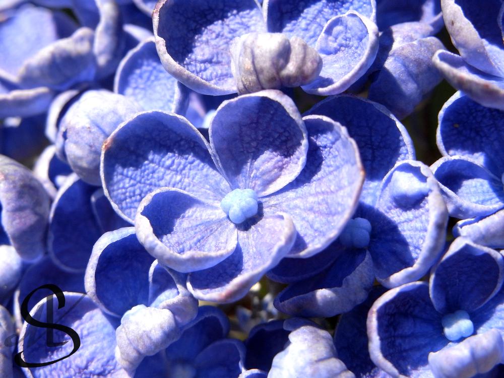 Hydrangea by Scalenbee