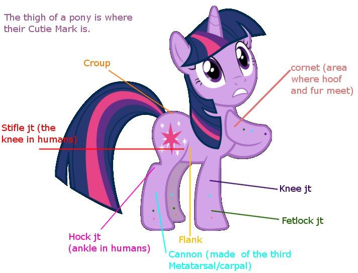 Pony Anatomy by MoMoMojito