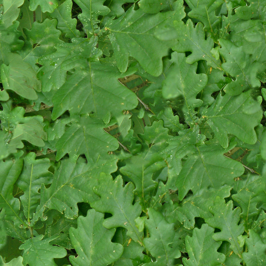 Oak Leaves [seamless texture]