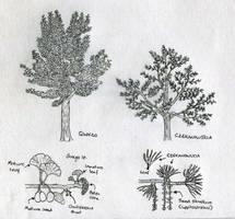 Sketch: Ginkgoalean trees of the Morrison