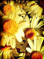 summer daisies by LFly