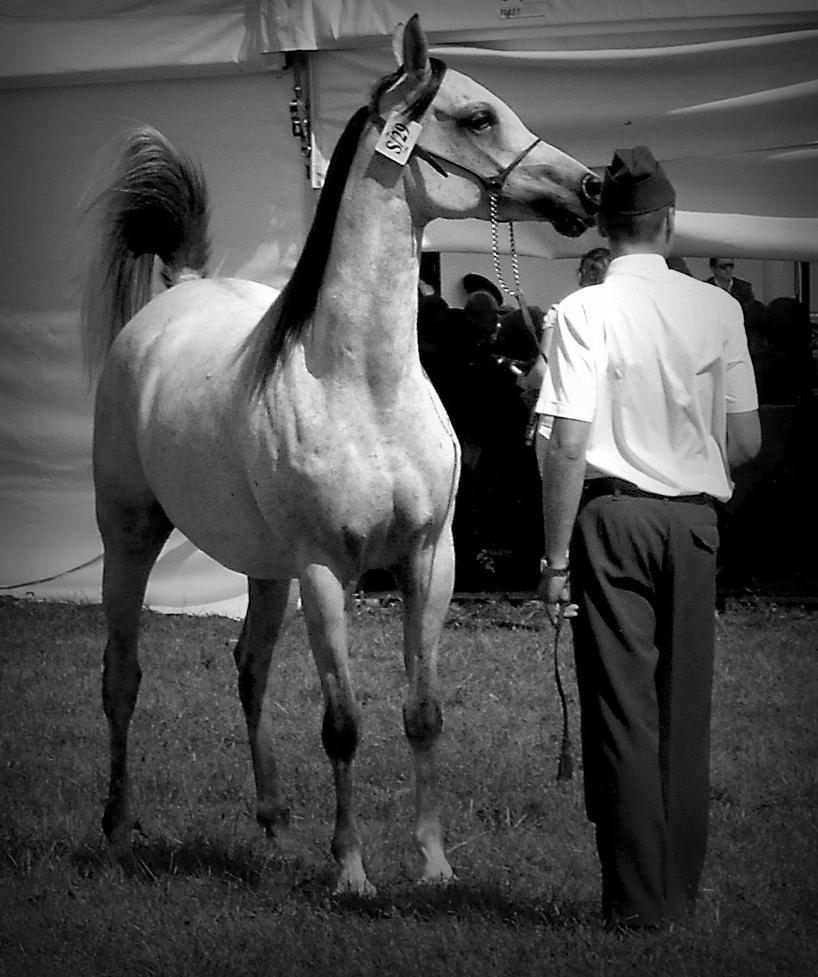 Arabian Horse by MasterMatrox