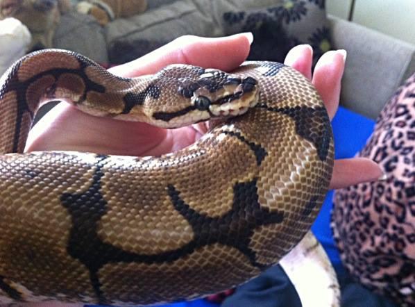 Alfie the Royal Python. by AmieLouiseThomas