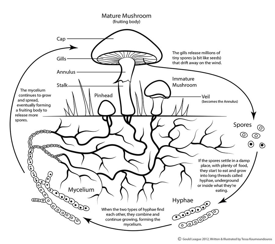 mushroom life cycle by tesskou on deviantart