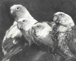 Graphite SunConures Print by KenneDuck