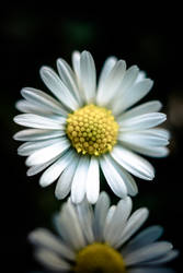 Daisy Flower by tK78