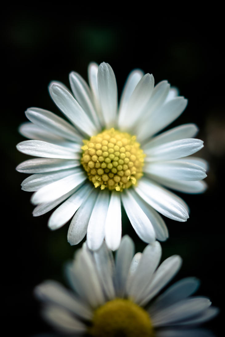 Daisy Flower By Tk78 On Deviantart