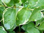 Green Dewdrops